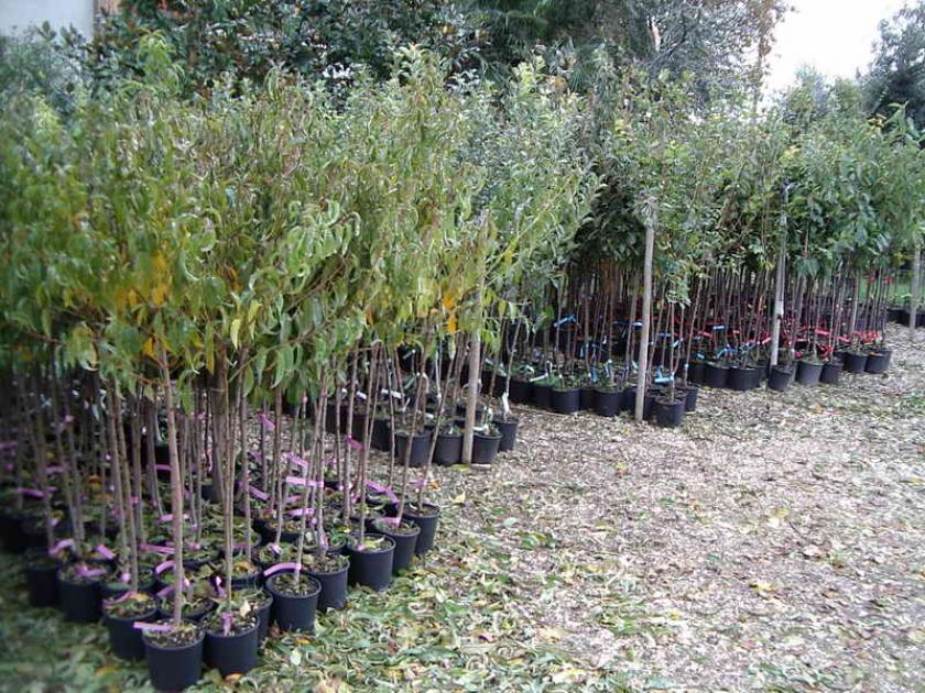 Coltivazione delle piante da frutto vaso o radice nuda for Piante da frutto vaso