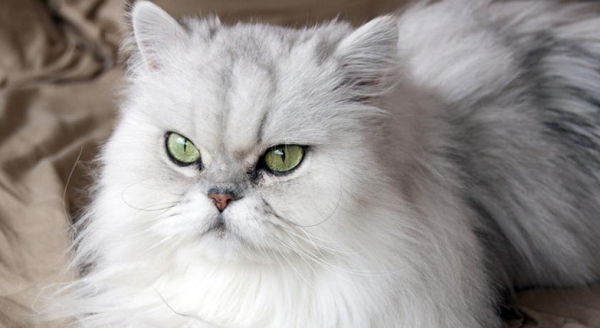 Il Gatto Persiano Saturno Notizie